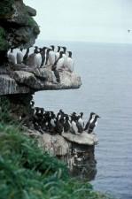 murres, sea, cliffs