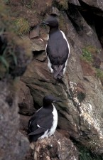 thick, billed, murre, birds, brunnich, guillemot, birds, uria lomvia