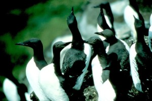 murves, птици, стадото