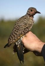 sfarfallio settentrionale, uccello