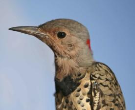 northern flicker, yellow, shafted, bird, colaptes auratus