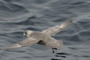 northern fulmar, bird, fulmaris, glacialis, flight, water