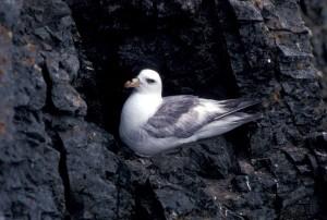 northern fulmar, light, phase, bird, fulmaris, glaciallis
