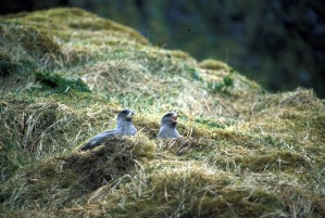northern fulmar, nesting, cliff, fulmars, glacilis
