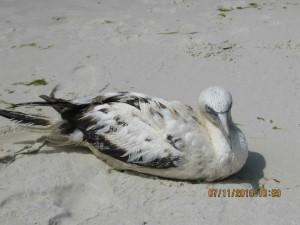 northern gannet, sand