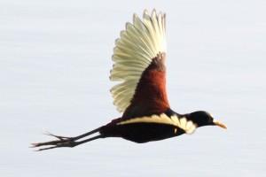 nord jacana, oiseau, vol, jacana, spinosa