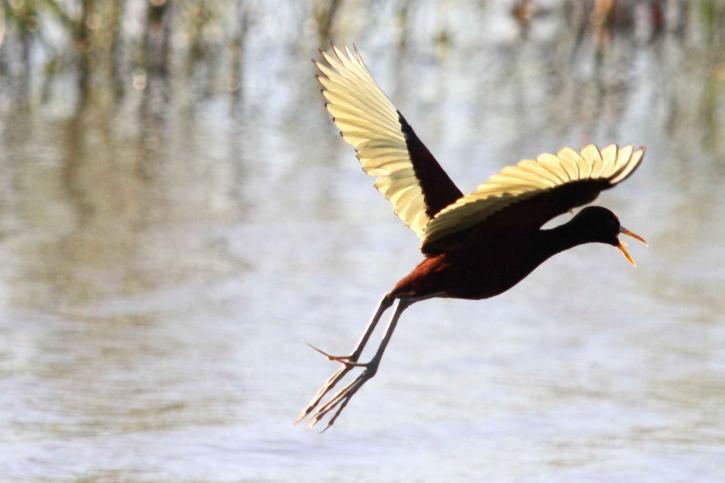 northern jacana, bird, flight, water, landing, jacana, spinosa