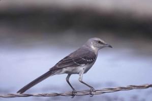 northern mockingbird, bird, metal, wire, mimus, polyglottos