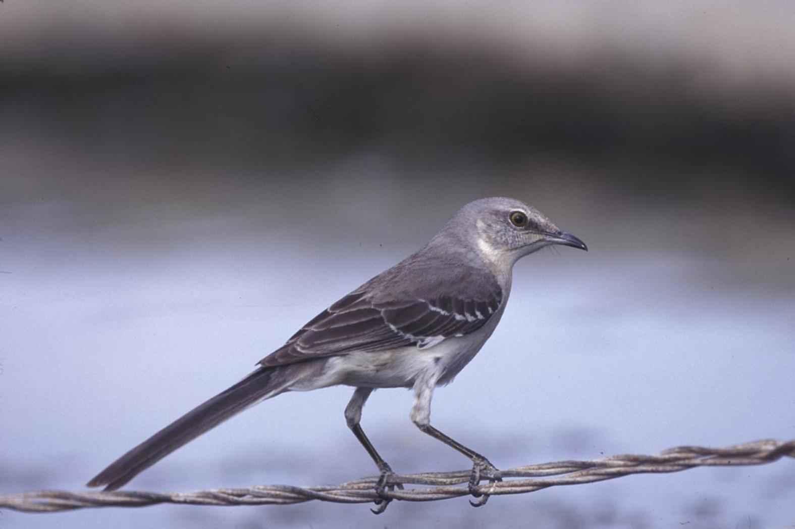 Free picture: northern mockingbird, bird, metal, wire, mimus polyglottos