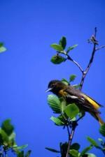 norte oropéndola, pájaro, árbol, ictericia, Icterus