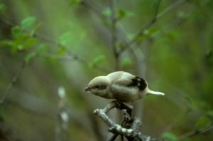 northern shrike, bird, lanius, excubitor