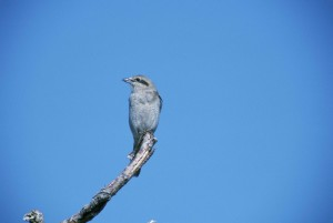 northern shrike, bird, lanius, excubitor, sitting, vertical, dead, branc