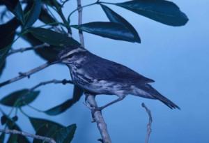 Paruline, oiseau, Seiurus, noveboracensis, percher, branche