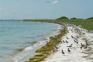 nombreux, limicoles, nidification, littoral