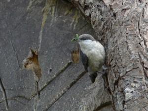 Pigme, sıvacı kuşu, kuş, sitta, açgözlü, gıda üzerine, pygmataea,