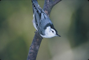 Nuthatch birds