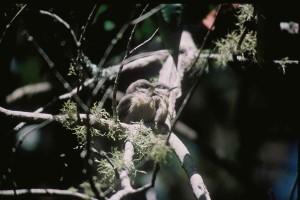 Pigme, sıvacı kuşu, kuş, sitta, pygmaea