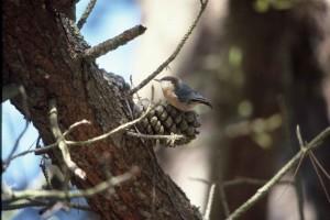 малка, птица, малка, зидарка, конус, sitta, pygmaea
