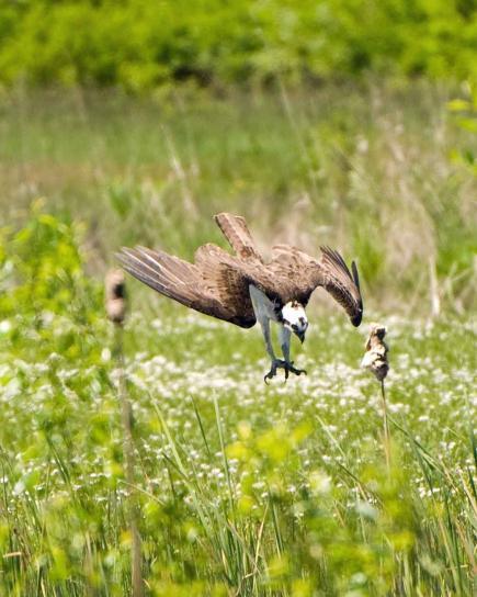 osprey, dives, quickly, pursuit, prey