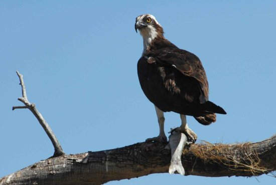 osprey, limb, catch