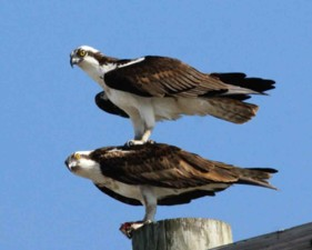birds, ospreys, one, top, onother