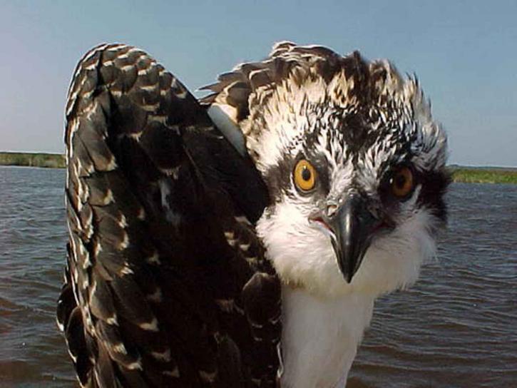 Sääksi, lintu, up-close, pandion haliaetus