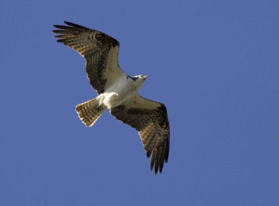 osprey, bird, flight
