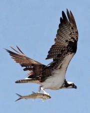 balbuzard pêcheur, oiseau, vol, de près, pandion, haliaetus
