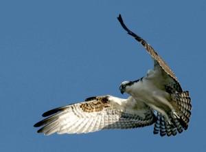 balbuzard pêcheur, oiseau, vol, détails, image, pandion, haliaetus