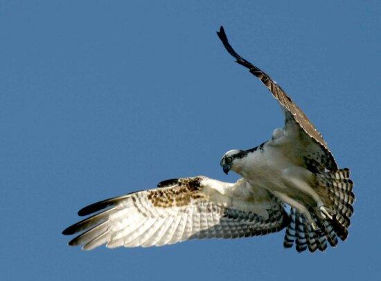 osprey, bird, flight, details, image, pandion haliaetus