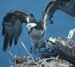 osprey, bird, nest, pandion, haliaetus