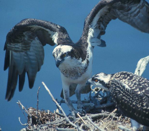 balbuzard pêcheur, oiseau, nid, pandion, haliaetus