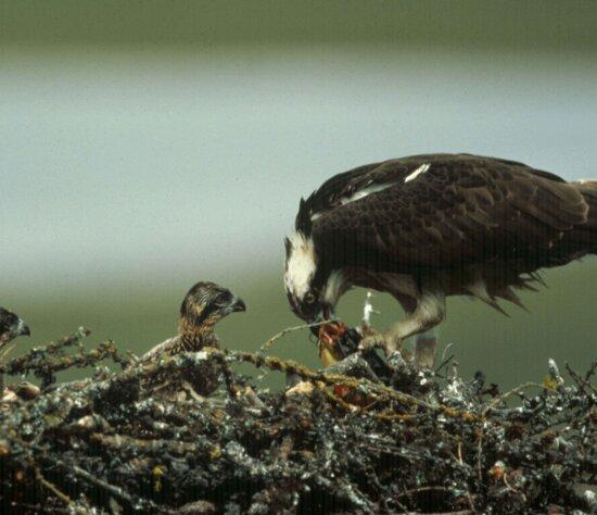 osprey, bird, nest, chick, pandion haliaetus