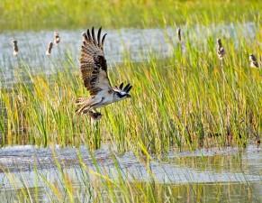 le balbuzard pêcheur, oiseau, pandion, haliaetus, les mouches, les poissons