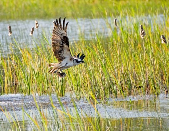 osprey, bird, pandion haliaetus, flies, fish