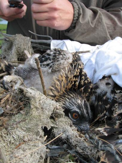 balbuzard pêcheur, poussin, nid