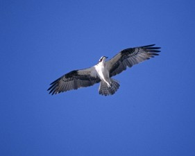 osprey, flying, sky, pandion, haliaetus