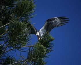 osprey, landing, tree, branch, pandion haliaetus