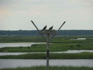 pair, osprey, birds, pandion, haliaetus, nesting, wetlands, area