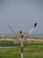 paire, le balbuzard pêcheur, Pandion, haliaetus, nid
