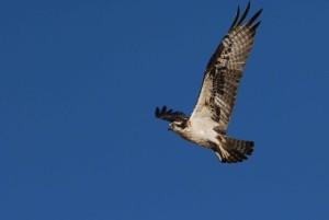 PANDION haliaetus, osprey, vták, letový
