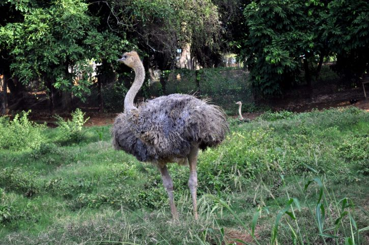 female, young, ostrich, bird, zoo