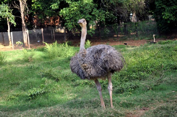 male, young, ostrich, bird