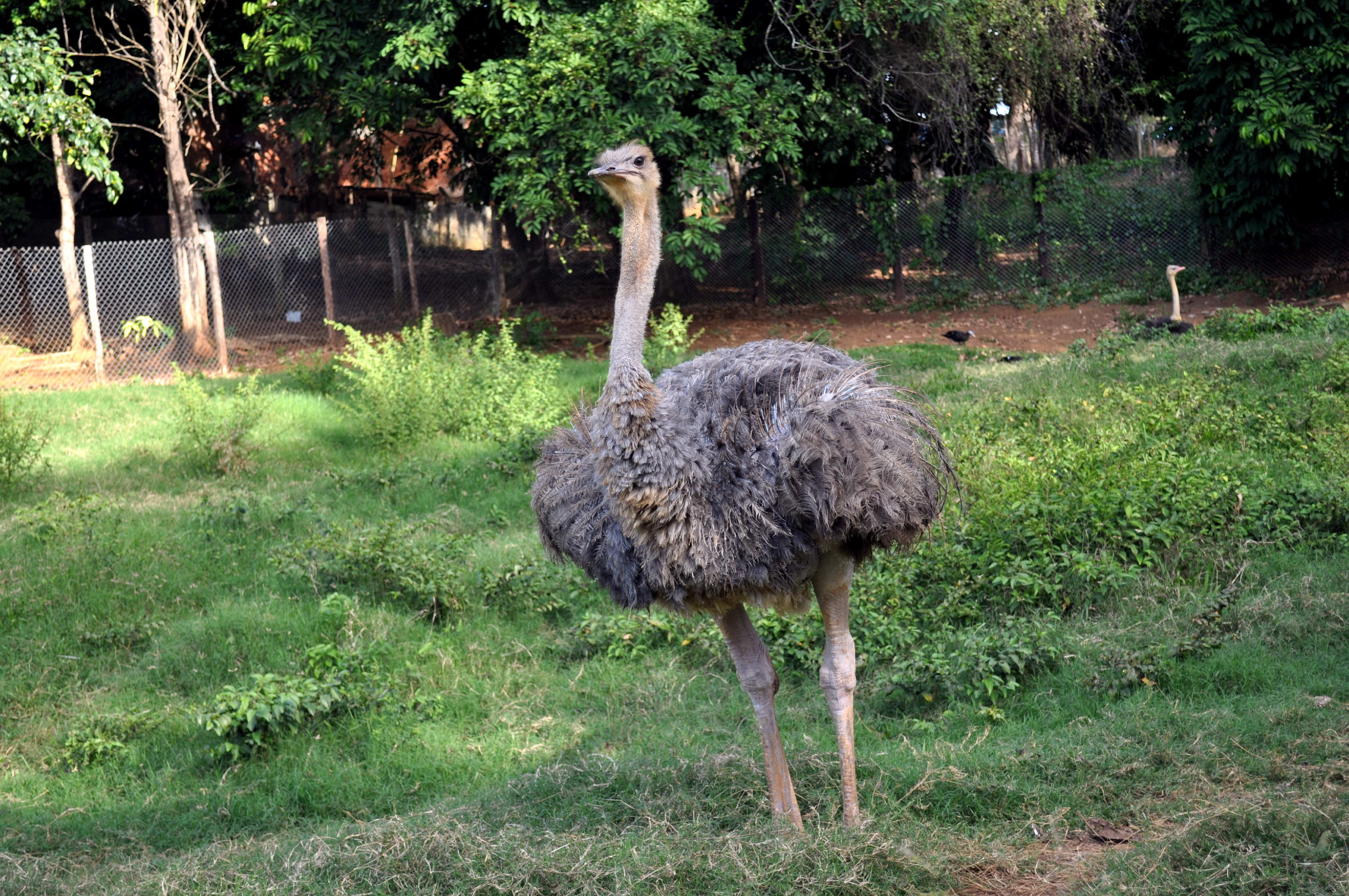 Free photograph; male, young, ostrich, bird