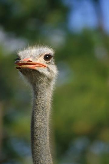 ostrich, bird, head, up-close, struthio camelus