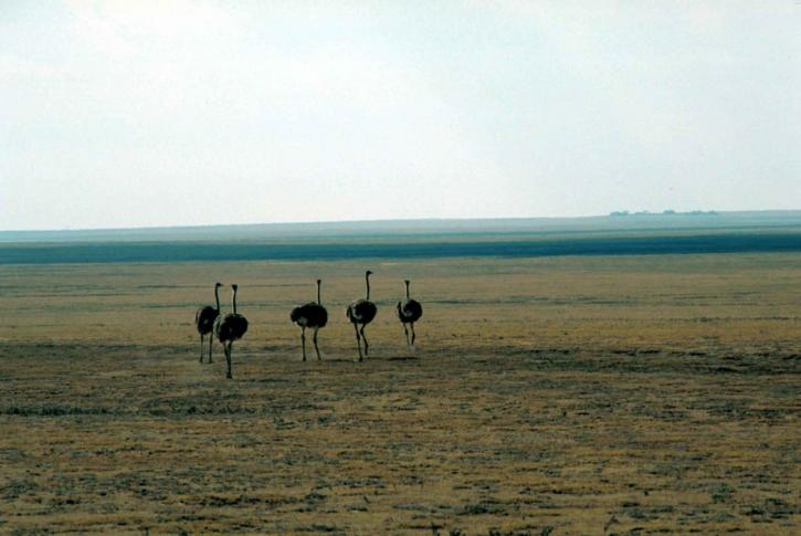 ostrich, flightless, birds, struthio camelus