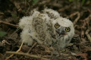 bébé, hibou, nid, prêt, voler, oiseau