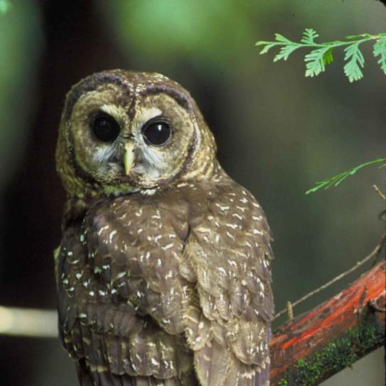 northern spotted, owl, bird