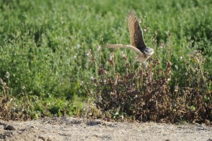 athene, cunicularia, hypugea, owl