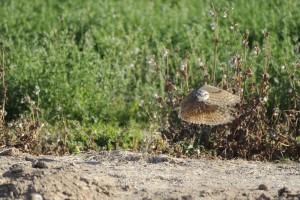 athene cunicularia hypugea, owl, burrowing